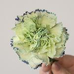 Sailor Blue and Green Carnations side stem