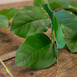 Wholesale greenery salal lemon leaf sold near me