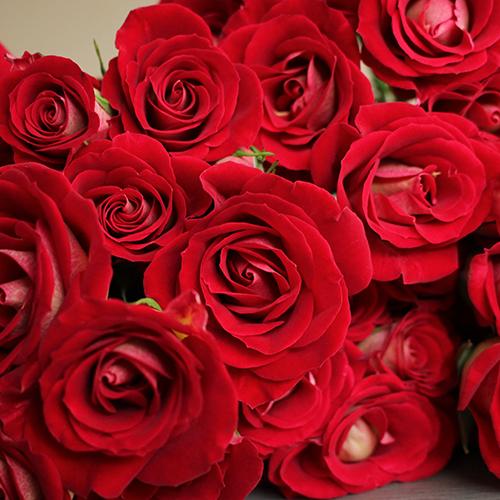 Salsa Red Orange Spray Roses up close