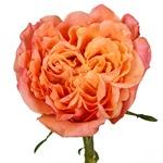 Salsa Rhythm Orange Garden Rose Stem