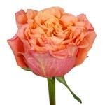 Salsa Rhythm Orange Garden Rose Side Stem View