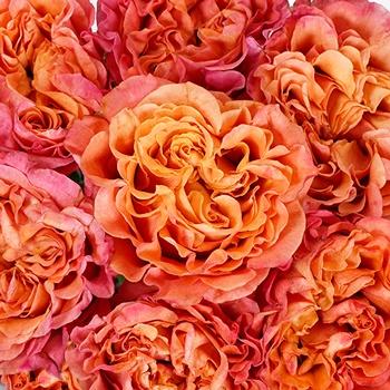 Salsa Rhythm Orange Garden Roses up close