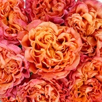 Salsa Rhythm Orange Garden Roses up close