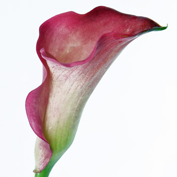 Sangria Mini Calla Flower