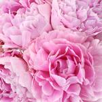 Sarah Bernhardt Light Pink Peonies up close