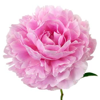 Sarah Bernhardt Light Pink Peony Stem