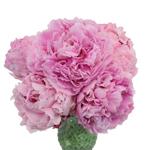 Sarah Bernhardt Light Pink Peony in a vase