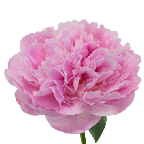 Sarah Bernhardt Peonies for May Delivery