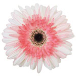 Gerbera Daisy Sassefrass White and Pink Wholesale Flower Up close