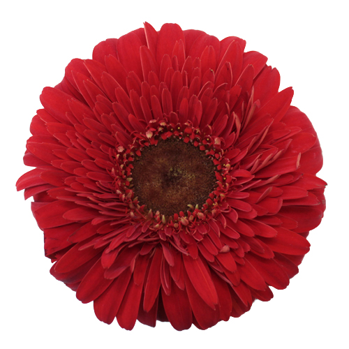 Bright Red Gerrondo Daisy Flowers