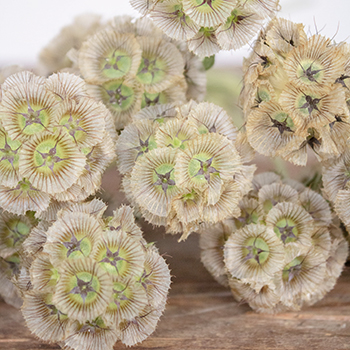 Scabiosa Pods Filler Flower
