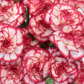 Red Twist Spray Carnation Flowers