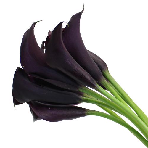 Midnight Plum Mini Calla Lily Flower