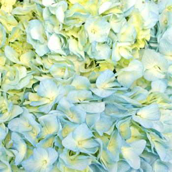Sea Glass Blue Hydrangea Wholesale Flower Up Close