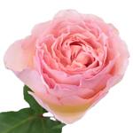Seashell Beach Pink Garden Rose Stem