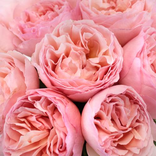 Seashell Beach Pink Garden Roses up close