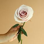 Secret Blush Garden Rose Stem