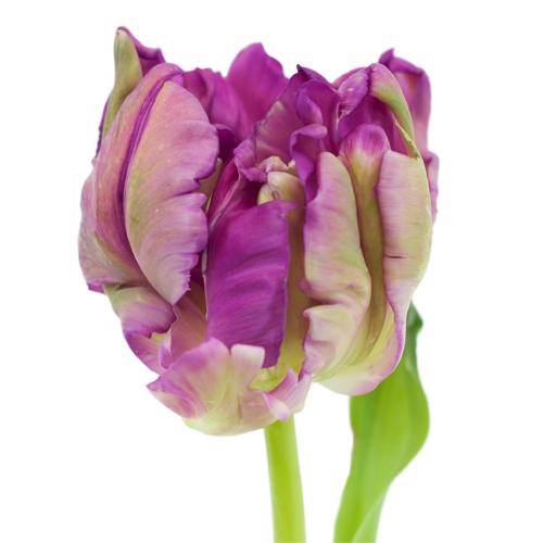 Secret Purple Parrot Tulip Wholesale Flower Up close