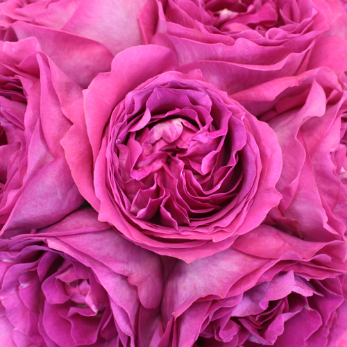 Raspberry Ribbons Garden Rose