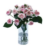 Shell Pink Sweetheart Garden Wholesale Roses In a vase