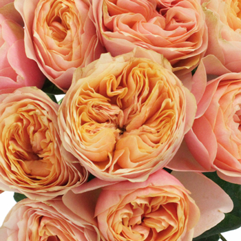Sherbet Orange Garden Roses up close
