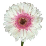 Gerbera Daisy Shimmer White and Pink Wholesale Flower Up close