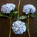 Shocking Blue Hydrangea Wholesale Flower FlatLay