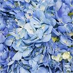 Shocking Blue Hydrangea Wholesale Flower Up close