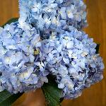 Shocking Blue Hydrangea Wholesale Flower Bunch