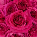 Shocking Pink Garden Roses up close
