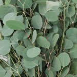Fresh Silver Dollar Eucalyptus Wholesale Greenery