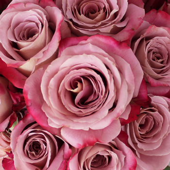 Silvery Pink Kissed Rose
