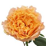 single stem garden rose known as peach campanella roses