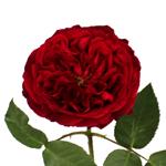 single stem red David Austin garden rose sold in bulk