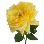 single stem of yellow roses named after toulousse lautrec