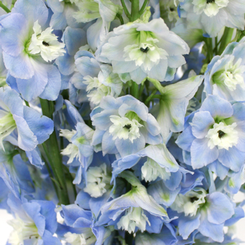 Sky Blue Designer Delphinium Wholesale Flower Up close