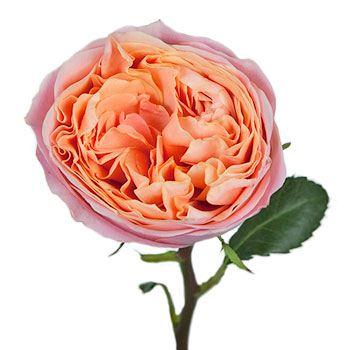 Smiles in the Sky Garden Rose Stem