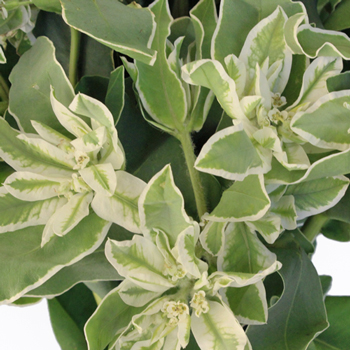 Wedding greenery snow on the mountain euphorbia marginata sold near me