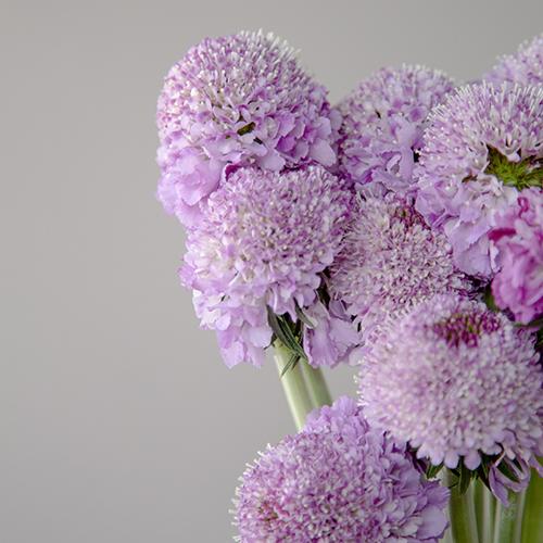 Soft Lavender Purple Scabiosa Flower