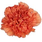 Solex Orange Carnation Flower Bloom
