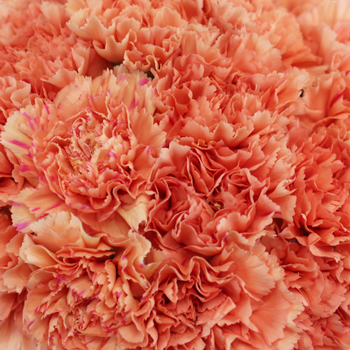 Solex Orange Wholesale Carnations Up close