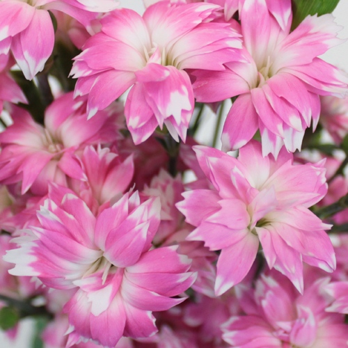 Pink Diamond Star Dianthus Flower