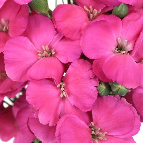 Shocking Pink Solomio Flower