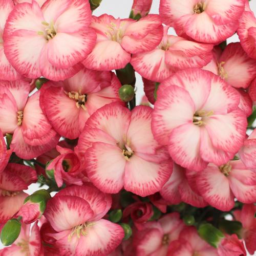 Pink Nectar Solomio Flowers