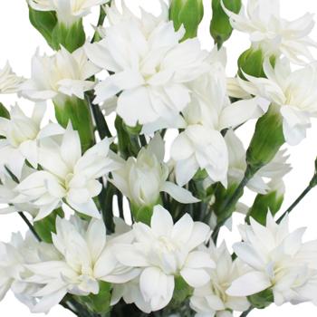 Bridal White Star Dianthus Flowers