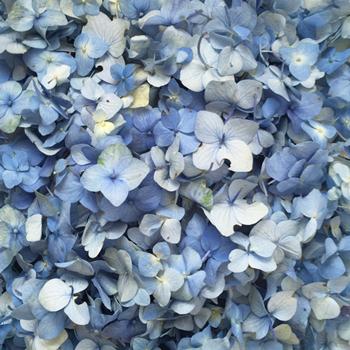 Something Blue Hydrangea Flower Petals Fresh
