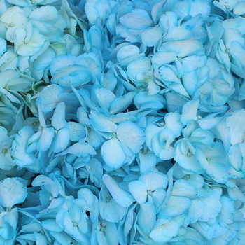 Something Borrowed Enhanced Blue Hydrangea Up Close