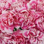 Soraya Pink Wholesale Carnations Up close