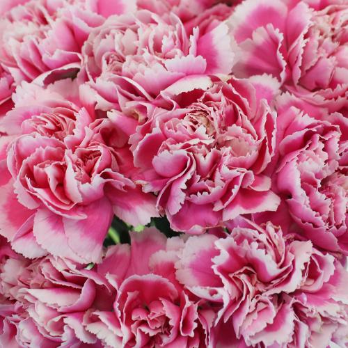 Ombre Pink Soraya Fresh Cut Carnation