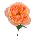 Southern Comfort Peach Garden Rose Stem